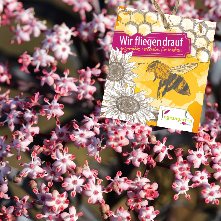 Schwarzer Holunder (Sambucus nigra 'Black Lace' ®)